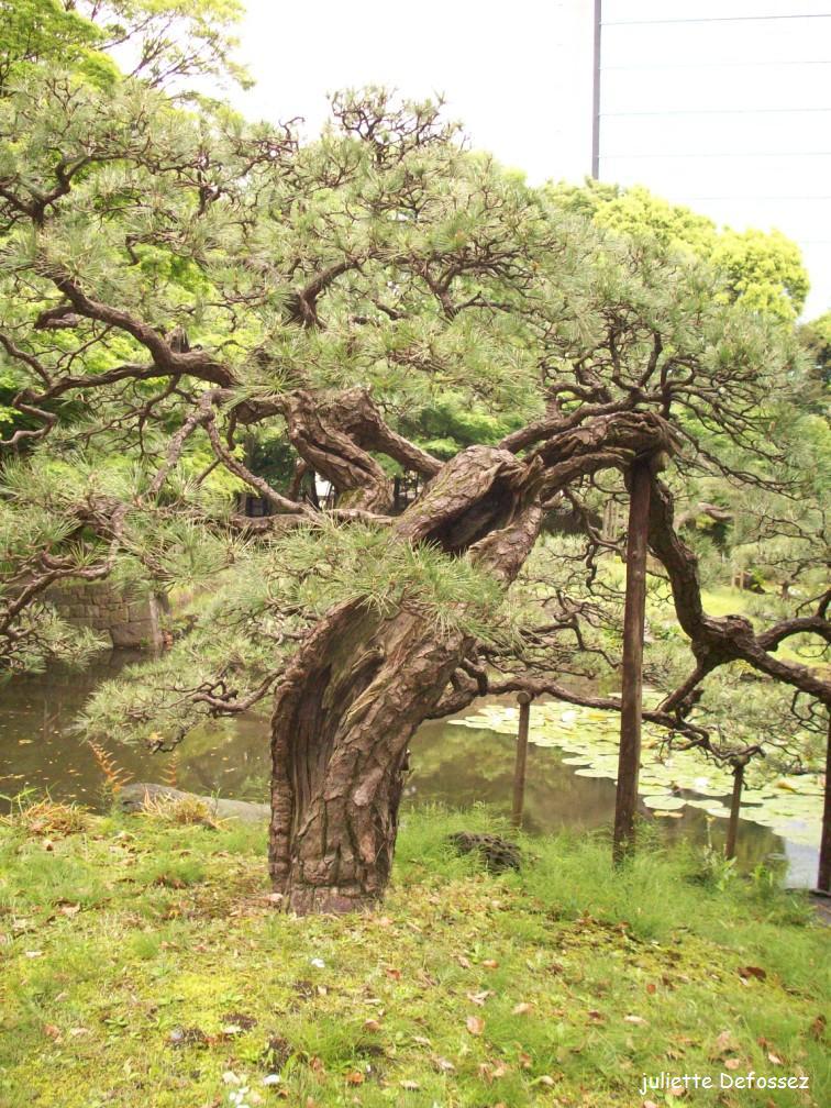 Les trois arbres du bonheur, Japon | Krapo arboricole