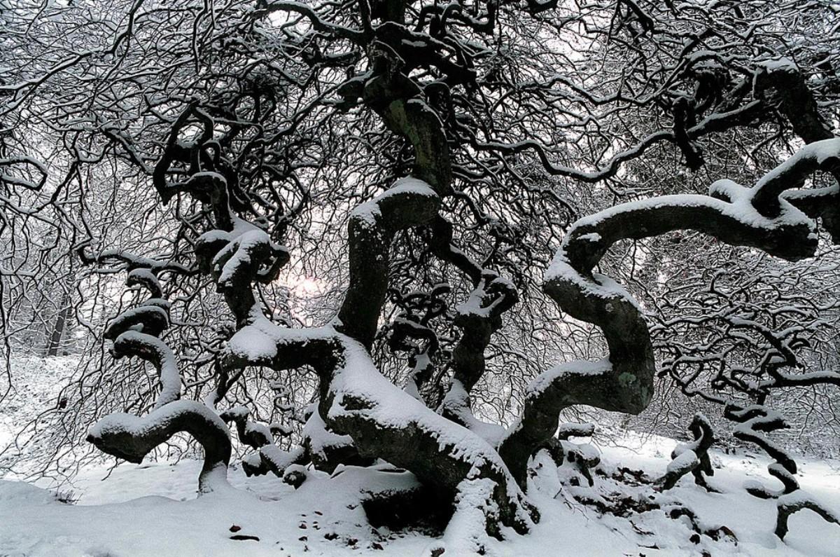Les h tres tortillards de verzy diaporama d olivier for Faux olivier arbre