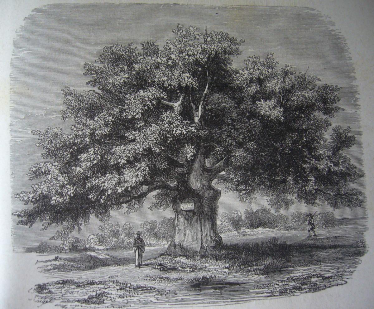 les arbres remarquables dans les gravures du xix si cle krapo arboricole. Black Bedroom Furniture Sets. Home Design Ideas
