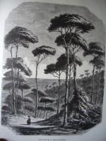 Une forêt de pin en basse provence- dessin d'apres nature