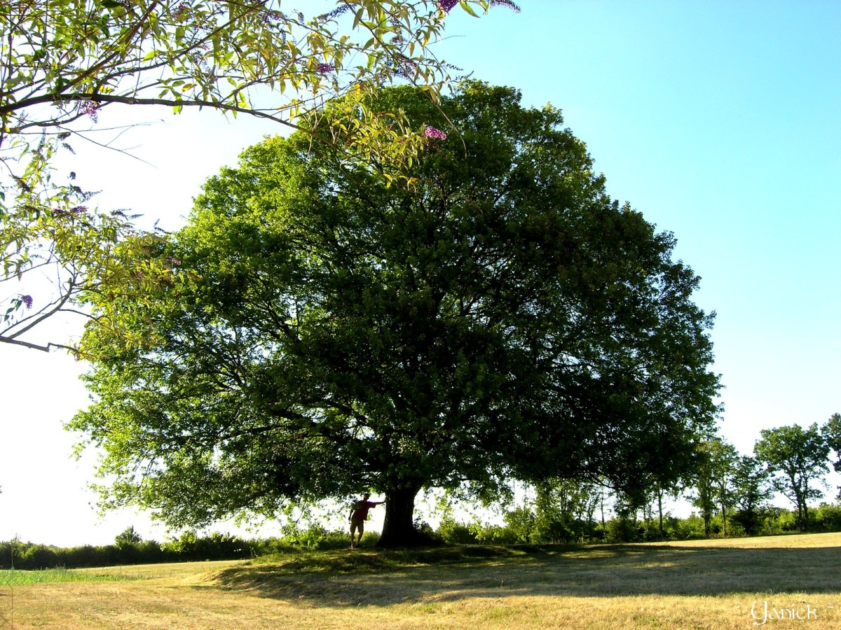 Erables de montpellier krapo arboricole - Reconnaitre les arbres par leur tronc ...