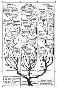 Haeckel_arbol_bnTree of Life in Generelle Morphologie der Organismen (1866)