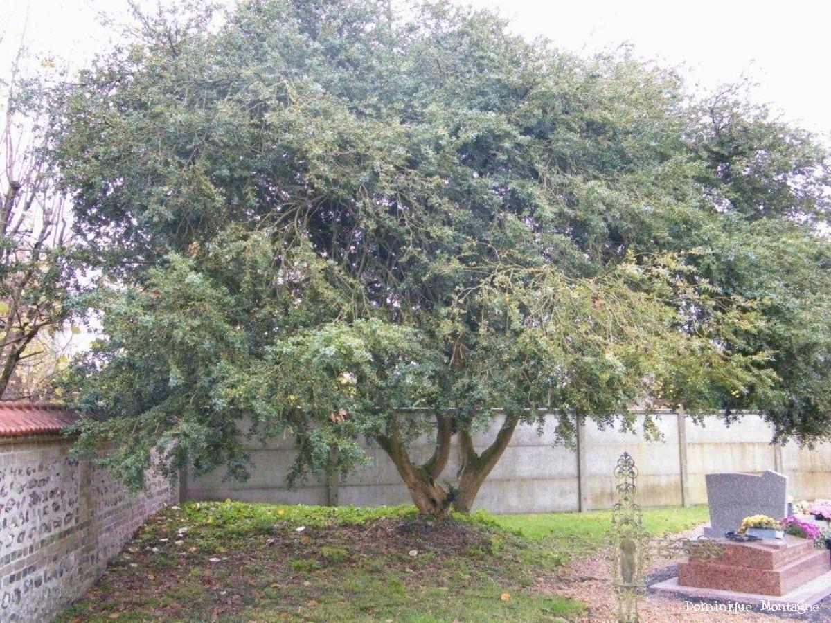 Buis krapo arboricole - Arbre mediterraneen croissance rapide ...