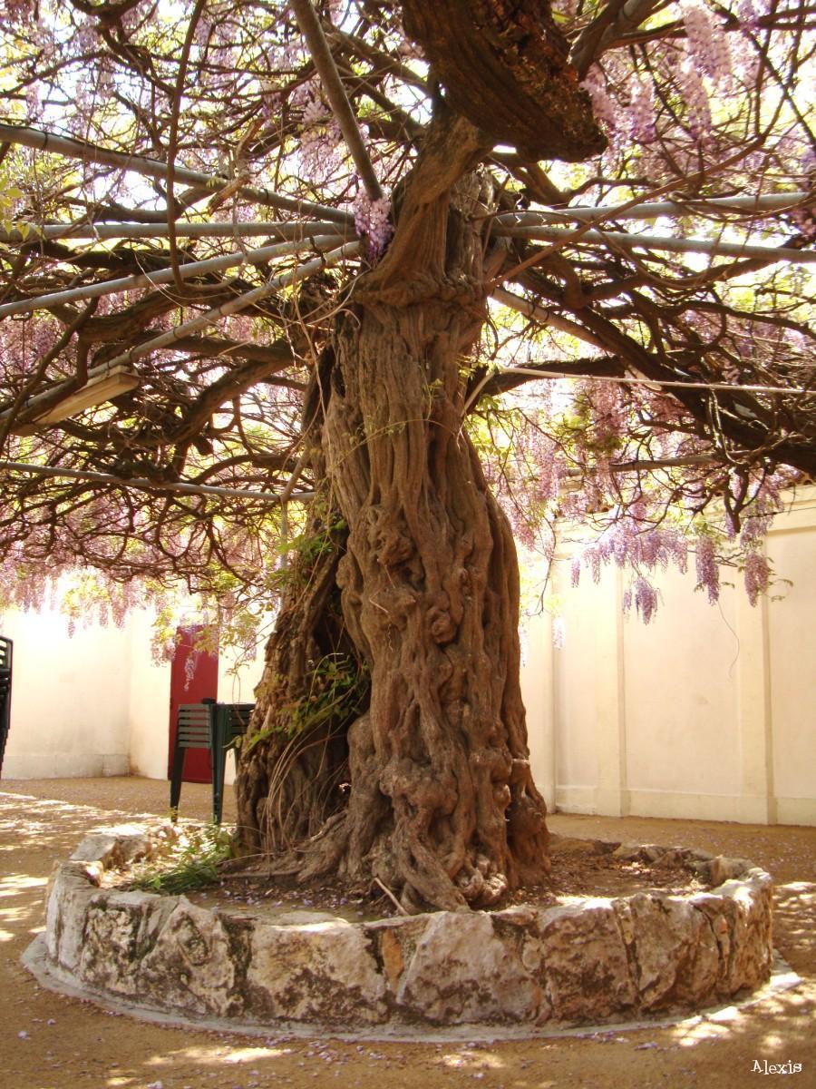 Glycines krapo arboricole - Taille de la glycine ...