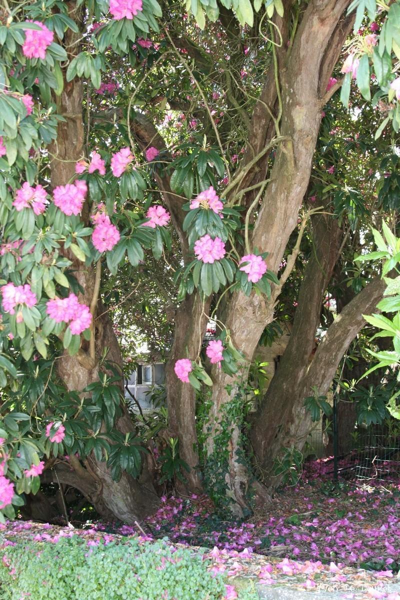Z autres krapo arboricole - Rhododendron ne fleurit pas ...