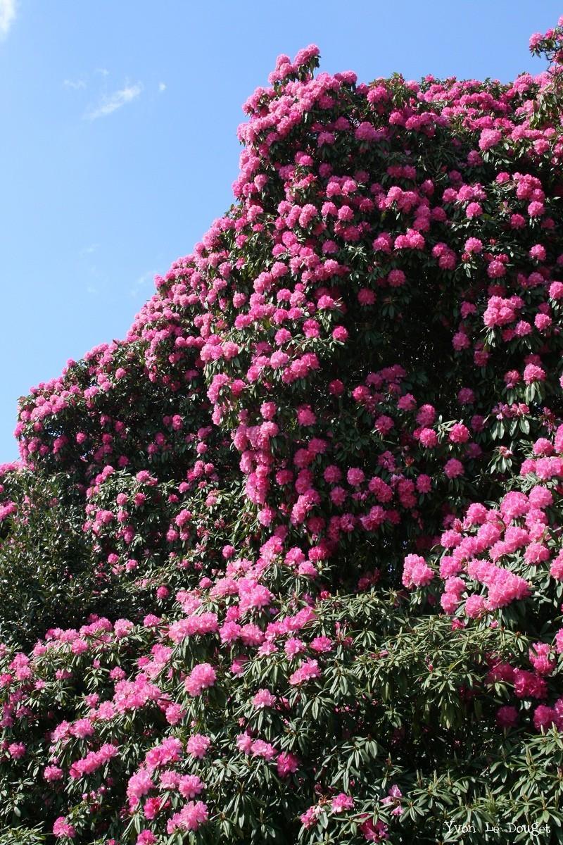 Couple de rhododendrons g ants quimper finist re - Rhododendron ne fleurit pas ...
