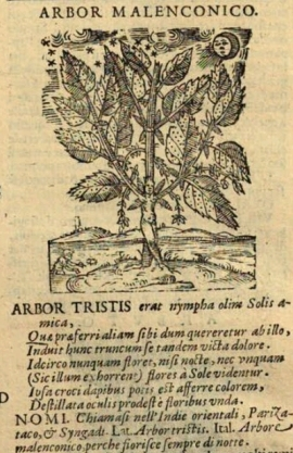 Arbor tristi Durante