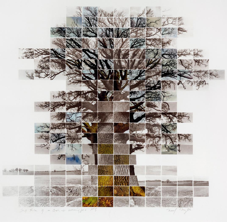 Oak at Wormingford © Noel Myles