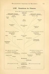 Stammbaum der Primaten Haeckel